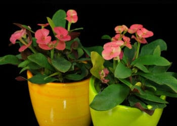6 Key Tips to Growing Perfect African Violets - Weekend Gardener