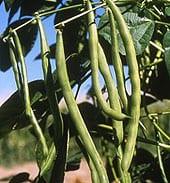 bush-beans1