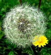 dandelion-control15