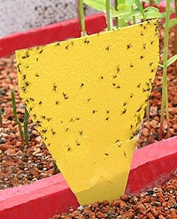 Fungus Gnats - Get Rid of Them Organically! - Weekend Gardener