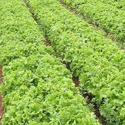 lettucelg2