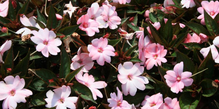 High Heat Flowers for Hot Summer Areas , Weekend Gardener