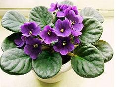 african-violet-pot
