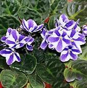 african-violet-pot1