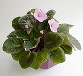 african-violet-pot5