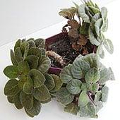 african-violet-pot6