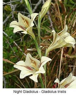 gladiolus-tristis