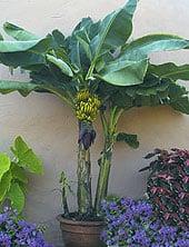 grow-bananasfinal