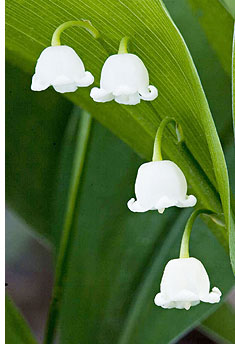 lily-of-the-valley1