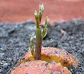 plant avocado seed