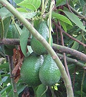 plant avocado seed10