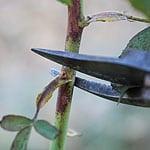 pruneroses
