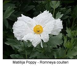 romneya-coulteri