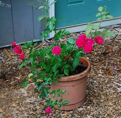 softwood-rose-cuttings12lg