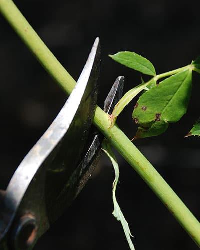 softwood-rose-cuttings3lg