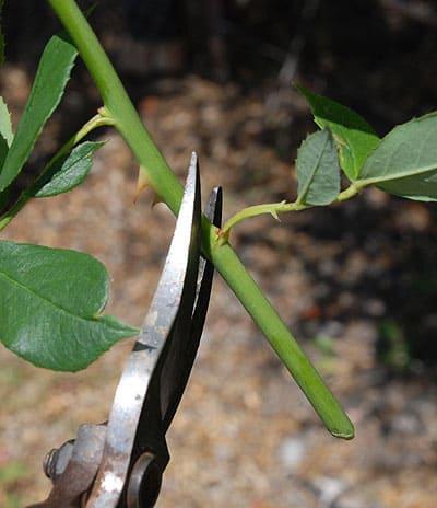 softwood-rose-cuttings4lg