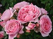 softwood-rose-cuttingsfinal