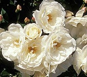 softwood-rose-cuttingsfinal2