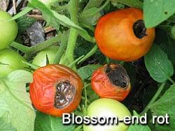 tomato-blossomendrot
