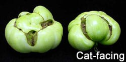 tomato-catfacing