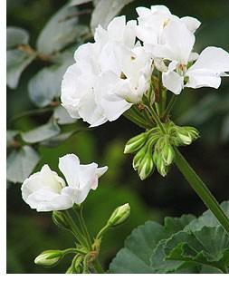 wintering-geraniums
