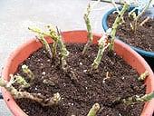 wintering-geraniums1