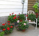 wintering-geraniums3
