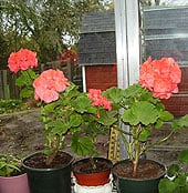 wintering-geraniums5