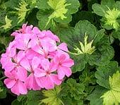 wintering-geraniumsfinal