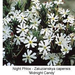 zaluzianskya-capensis