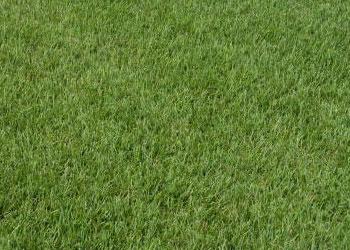 zoysiagrasslg
