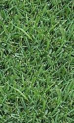 zoysiagrasslg2