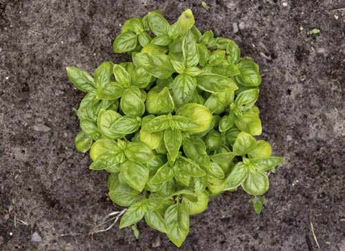 25-Common-Basil-Problems-And-How-To-Fix-Them-Burns