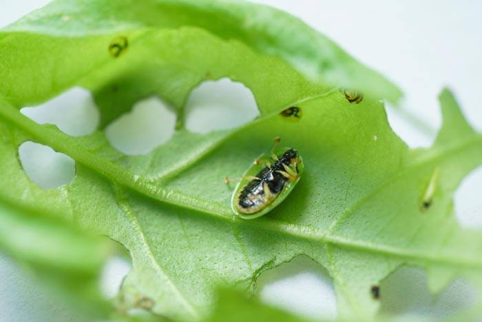 25-Common-Basil-Problems-And-How-To-Fix-Them-Pests
