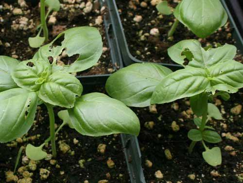 25-Common-Basil-Problems-And-How-To-Fix-Them-Slugs