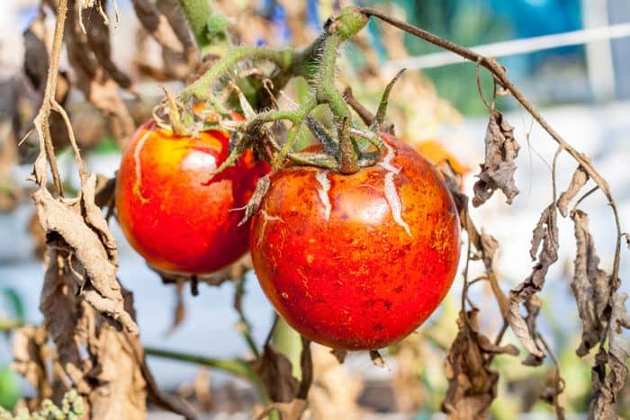 25-Common-Tomato-Plant-Problems-And-How-To-Fix-Them-Bacterial-Canker