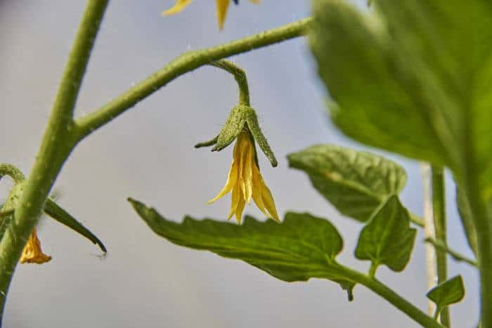 25-Common-Tomato-Plant-Problems-And-How-To-Fix-Them-Blossom-Drop