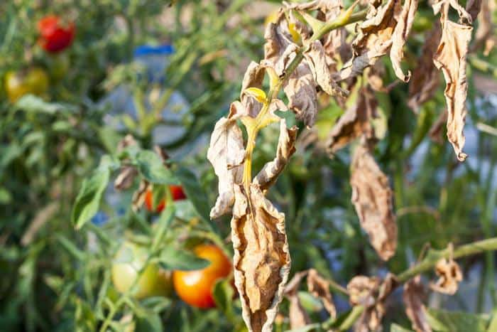 25-Common-Tomato-Plant-Problems-And-How-To-Fix-Them-Early-Blight