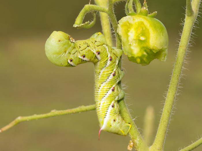 25-Common-Tomato-Plant-Problems-And-How-To-Fix-Them-Hornworm