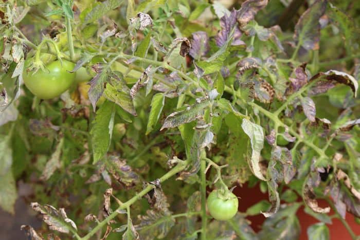 25-Common-Tomato-Plant-Problems-And-How-To-Fix-Them-Leaf-Rolls