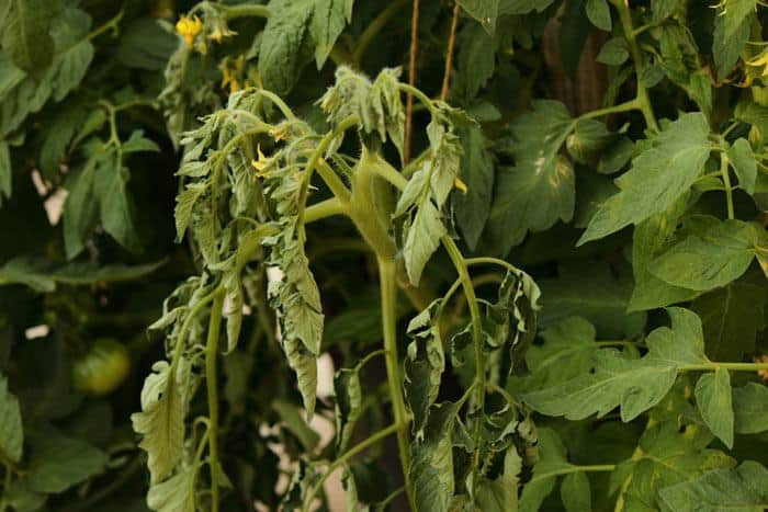 25-Common-Tomato-Plant-Problems-And-How-To-Fix-Them-Overwatered-Plant