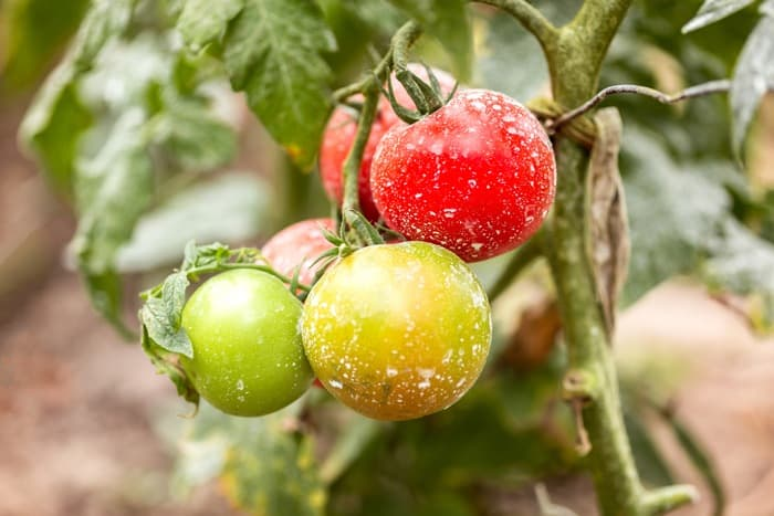 25-Common-Tomato-Plant-Problems-And-How-To-Fix-Them-Powdery-Mildew