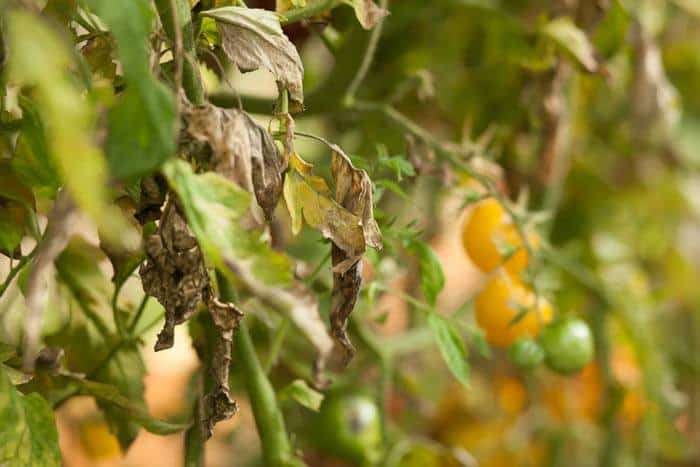 25-Common-Tomato-Plant-Problems-And-How-To-Fix-Them-Septoria-Leaf-Spot