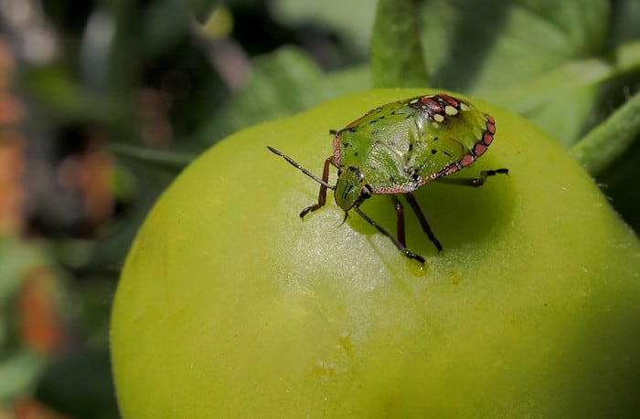 25-Common-Tomato-Plant-Problems-And-How-To-Fix-Them-Stink-Bugs