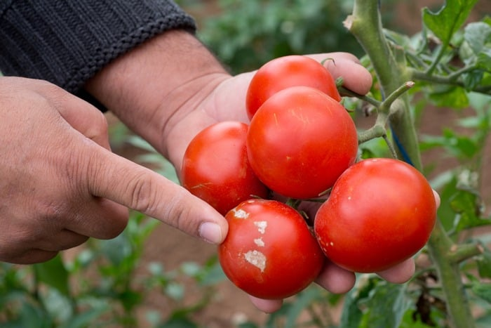25-Common-Tomato-Plant-Problems-And-How-To-Fix-Them-Viral-Diseases