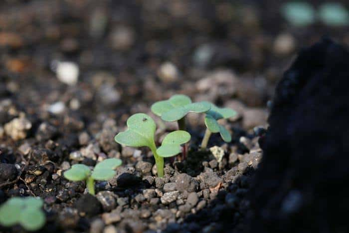 Broccoli-Plant-Stages-Germination
