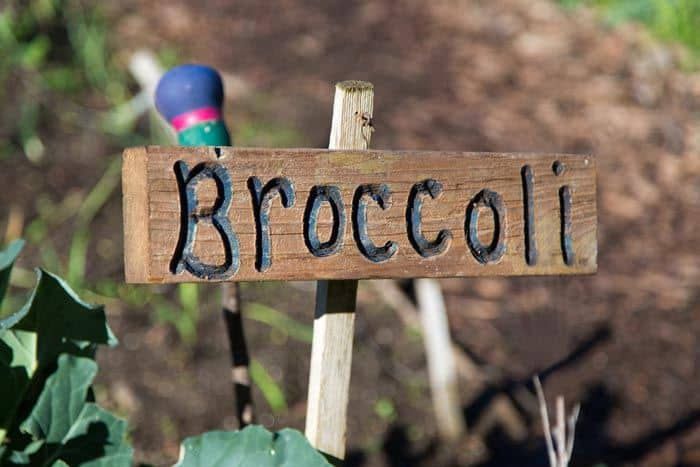 Broccoli-Plant-Stages-Grow-Broccoli