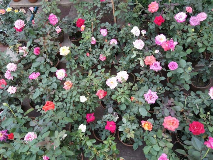 Choosing The Cultivar