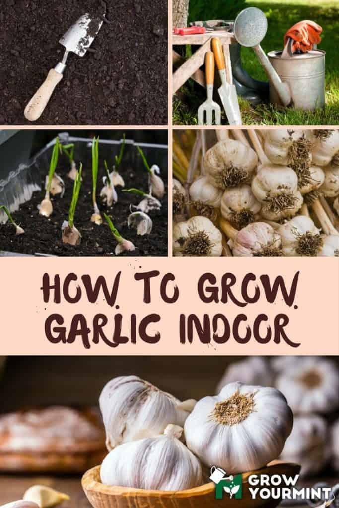 How-To-Grow-Garlic-Indoor-1-683x1024