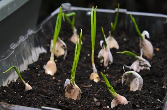How-To-Grow-Garlic-Indoor-Take-Care-About-Garlic